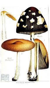 Are Backyard Mushrooms Poisonous Botanical Mushroom Edible And Poisonous Mushrooms Poisonous