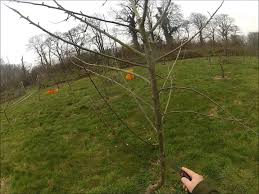 pruning a young apple tree that is too tall youtube