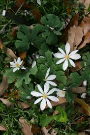 arkansas native plants 143 best wildflower u0027s u0026 plant u0027s images on pinterest flowers