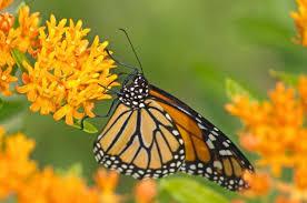 monarch mdc discover nature