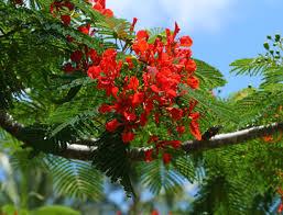 delonix regia royal poinciana flamboyant tree hawaiian