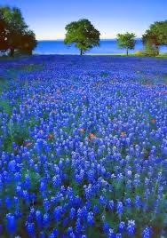 Texas traveled definition images Best 25 texas bluebonnets ideas muscari flower jpg