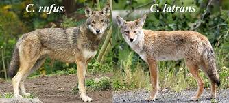Can Coyotes See Red Light The Red Wolf Is Mostly Coyote Motherboard
