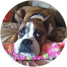rescue a boxer dog adopt boxer rescue angels of florida