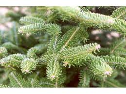 st vincent ferrer holy name society s annual tree sale