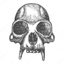 monkey skull sketch u2014 stock photo goldenshrimp 125552922