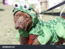 frog halloween costume pitbull park posed portrait his frog stock photo 118193680