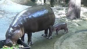 si e social hippopotamus khao kheow open zoo welcomes baby pygmy hippo pattaya mail