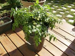 Patio Vegetables by Outdoor And Patio Tomatoes In Container Gardening Vegetables Over