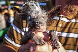 ugliest this is the world u0027s ugliest dog new york post