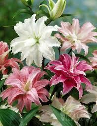 best 20 oriental lily ideas on pinterest stargazer lilies