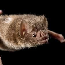 common vampire bat national geographic