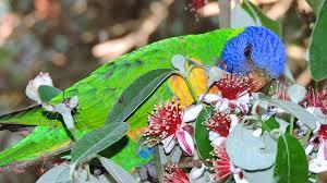 australian garden flowers file rainbow lorikeet trichoglossus haematodus feeding on