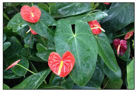 anthurium anthurium andraeanum flamingo philippine