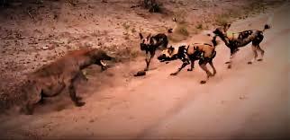 safari ltd african wild dog african wild dog wikipedia