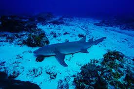 nurse shark bite research