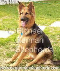 pioneer german shepherds upcoming litters of long haired german