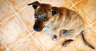 Dog Going Blind What To Do Why Does My Dog In The House How Can I Stop It