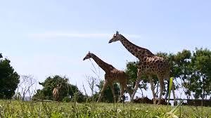 uganda strives to replenish endangered giraffe population cgtn