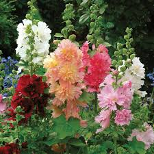 hollyhock flowers seeds queeny mix