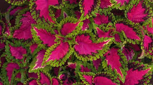 How To Grow Coleus Plants by Growing The Coleus Plant Successfully Morflora