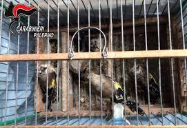 uccelli in gabbia ballar祺 tiene in gabbia uccelli di specie protetta denunciato