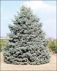 blue spruce isu forestry extension tree identification colorado blue spruce