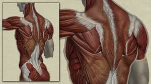 Anatomy Of Human Back Muscles Back Muscle Anatomy Study Digital Speed Painting Youtube