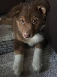 6 week old australian shepherd view ad australian shepherd puppy for sale michigan gaylord usa