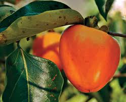 tropical fruits of alabama alabama gardener web articles