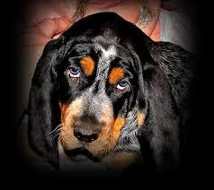 bluetick coonhound west virginia bluetick coonhound u0026 cameron puppies for sale at bluestone blueticks