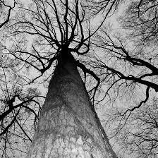 looking up at towering trees