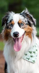 twin oaks 2 australian shepherd 1451 best australian shepherd images on pinterest dog animals