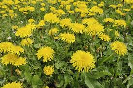 african native plants edible weeds wild plants and weeds you can eat