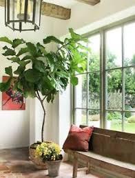ficus lyrata fiddle leaf fig tree houseplant ebay