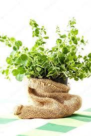 origan frais en cuisine origan frais dans un pot de fleurs photographie fotek 75067377
