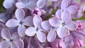 Fragrant Plants For Shade - fragrant flowers