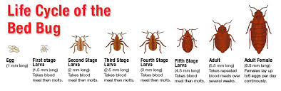 Bed Bug Learn More About Bed Bugs Haul Away Cleaning U0026 Bed Bug Prep Services