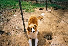 Good Backyard Pets Before You Chain Tether Your Dog You Should Know