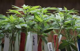 just say no to investing in pot committee advises california