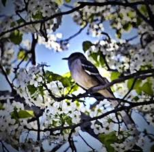 bird in cherry blossom tree photograph by mikki cucuzzo