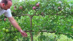 growing apples on espalier tree youtube