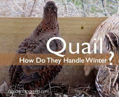 Raising Quail Backyard Raise Quail In Your Garden Tips On Housing Options And The
