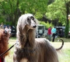 afghan hound underwater afghan hound