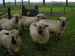 hampshire sheep wikipedia