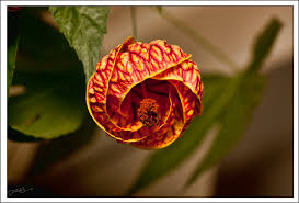 lantern flower flower on lantern tree by dewardb on deviantart