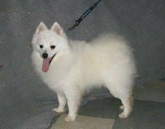 how big is american eskimo dog american eskimo dog animals pinterest plays dog presents