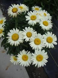 shasta daisies plant care and collection of varieties garden org