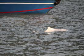 dolphin maimed in u0027outboard motor u0027 accident is no stranger to hong