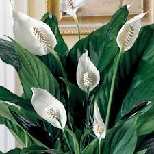 how to grow clean air houseplants and purfy indoor air